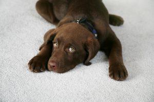 A Brown Labrador laying on white carpet